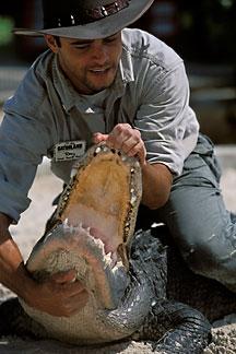 Alligatorwrestling